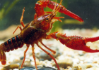 小龙虾的金沙国际娱乐网址分析 小龙虾的金沙国际娱乐网址价值