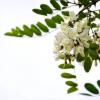家槐树花的金沙国际娱乐场官网和作用
