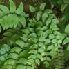 冷蕨子草的药用价值有哪些