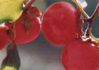 红柿可预防感冒 选购柿子妙方