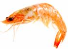 腮变黑的多半是病虾 买虾时要注意了