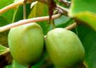 木天蓼的功效作用 木天蓼的食用方法