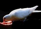 鸽子汤能帮你美容吗 女人喝鸽子汤的好处