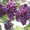 吃葡萄别嚼葡萄籽了 葡萄的白霜是好东西哦