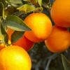 吃橘子要注意哪些事项 橘子的金沙国际娱乐网址价值