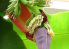 香蕉花可以吃吗 香蕉花怎么吃