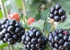 黑莓果有哪些营养价值