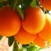 脐橙的金沙国际娱乐网址价值