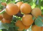 杏吃多了会上火吗?美国杏仁吃多了会不会中毒