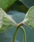 莲子祛火 秋季养生食物