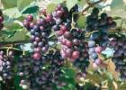 黑葡萄的好处 夏黑葡萄与紫葡萄的区别