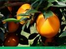 橙子和猕猴桃能一起吃吗?橙子和猕猴桃能一起榨汁吗?[多图]