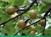 梨子的功效与作用 吃梨有什么好处?[多图]