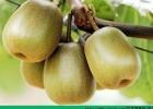 梨能和猕猴桃一起吃吗?梨和猕猴桃一起榨汁好不好?[多图]
