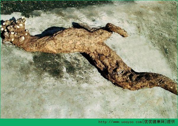 江西挖出巨型葛根 葛根的作用与金沙国际娱乐场官网介绍(1)