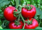 血栓能吃番茄吗?血栓吃番茄有什么效果?[多图]
