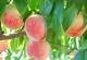 桃子有什么营养?桃子有什么好处?[多图]