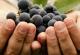 吃葡萄有什么金沙国际娱乐场官网?吃葡萄的金沙国际娱乐场官网与作用[多图]