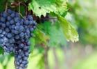 蓝莓和葡萄有什么区别?蓝莓和葡萄的区别介绍[多图]