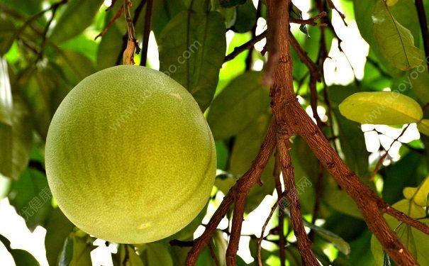 柚子对心脏有好处吗?吃柚子对心血管好吗?(3)