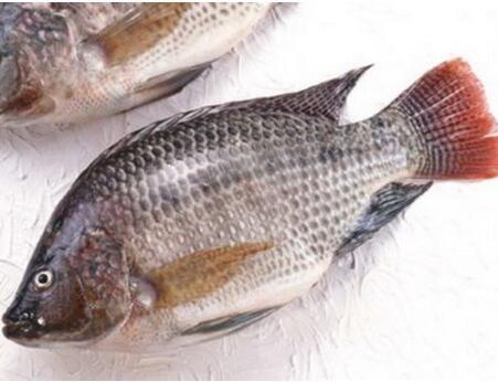 罗非鱼的营养 含有丰富的蛋白质