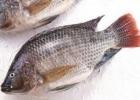 罗非鱼的金沙国际娱乐网址 含有丰富的蛋白质