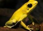 活体箭毒蛙长什么样有多毒 全球最毒活体箭毒蛙一次可杀10个成人
